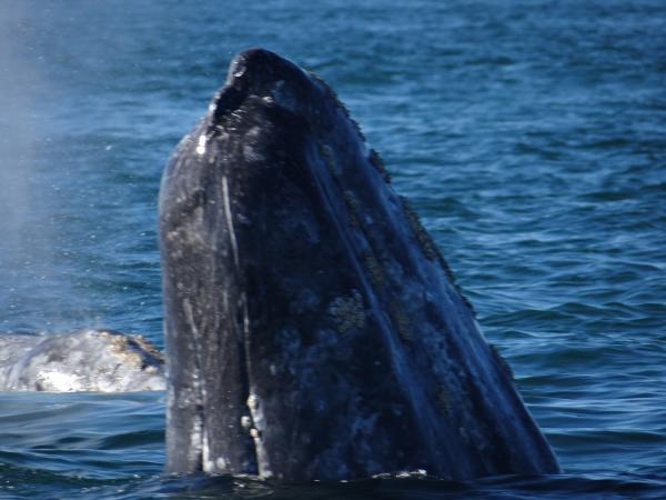 Grey Whale Spy Hopping Magdalena Bay