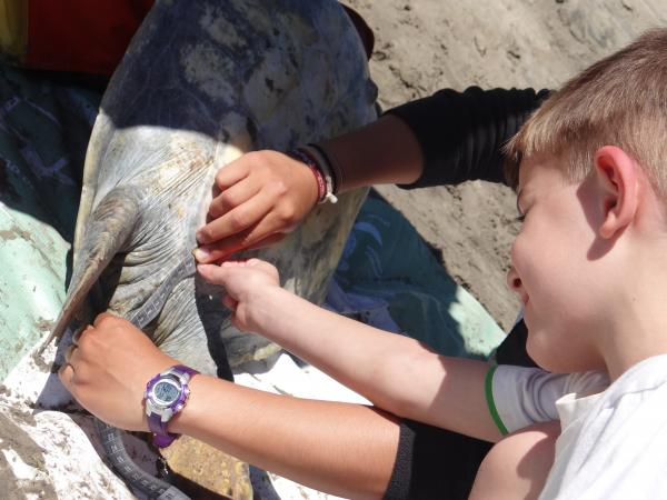 Measuring Sea Turtle Tail Length Magdalena Bay