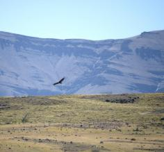 Our first Condor sighting!