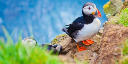 Puffins on the Latrabjarg Cliffs
