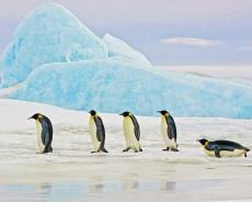 Penguins walking in a line