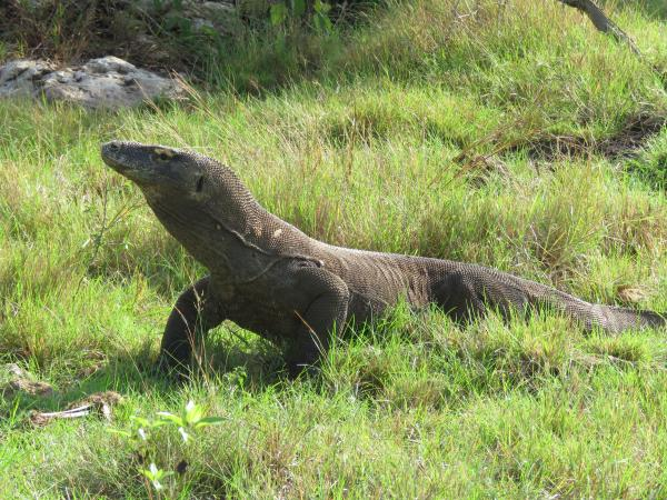 Cruising Adventures! Komodo Dragon
