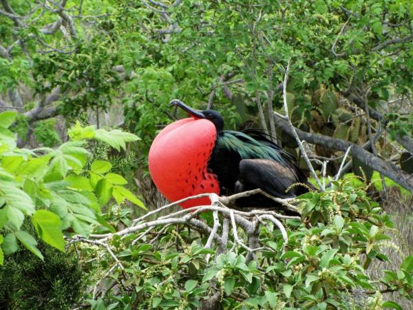 Cruising Adventures! Frigate bird