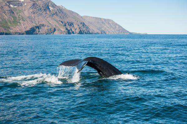Whale Watching off the coast of Reykjavik in Iceland