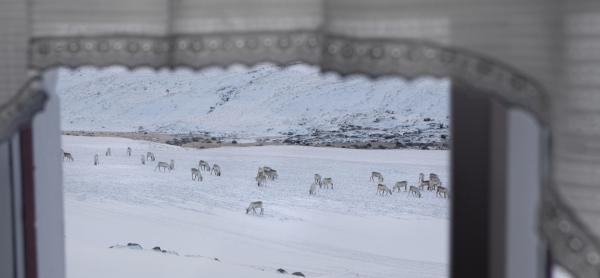 Wild Reindeer out the window