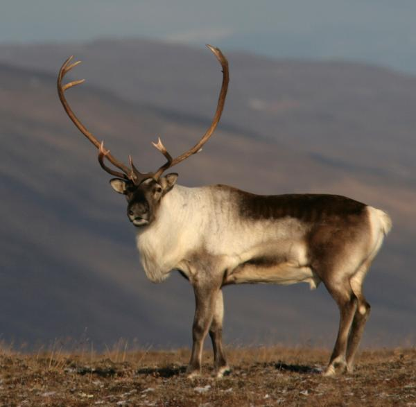 Wild Reindeer in East Iceland