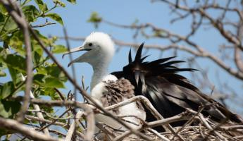 A baby frigate bird waits for a meal.