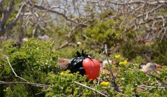 A male frigate bird tries to attract a mate.
