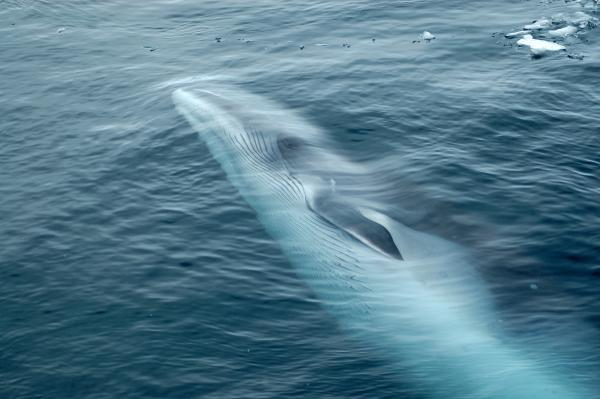 Minke whale swimming in the ocean