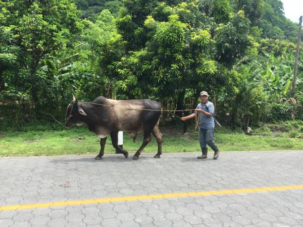 Sharing the road on Ometepe Island