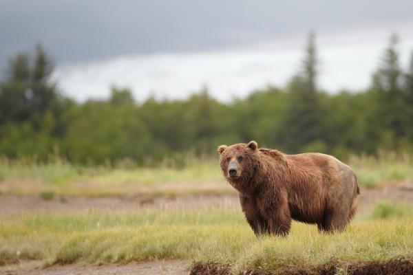 Bear sighting in Alaska