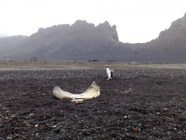 Penguin walks by a whale bone