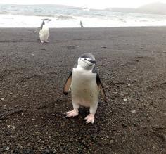 A curious young penguin