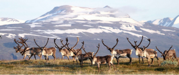 Wild Reindeer in the highlands