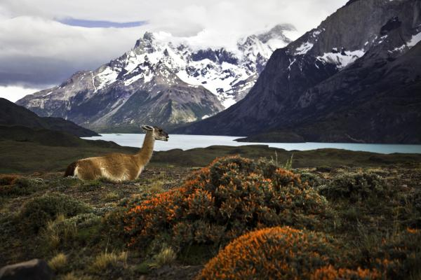 Guanaco at Chilean Fjord