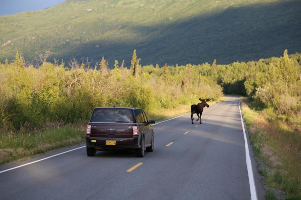 Moose in the road