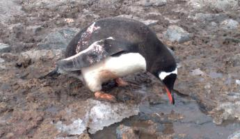 A Gentoo searching for the perfect pebble