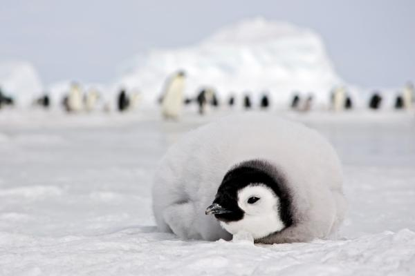 Emperor penguin chick in Antarctica