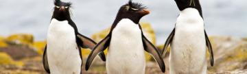 Rockhopper penguin sighting