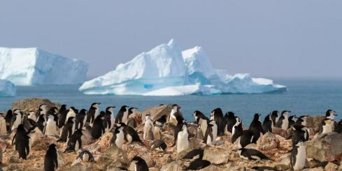 Chinstrap penguin sighting