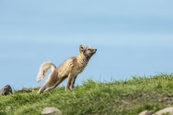 Arctic fox during spring in Svalbard