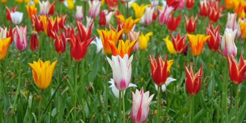 Holland Tulips