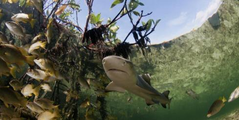 Baby lemon shark with fish in mangrove forest