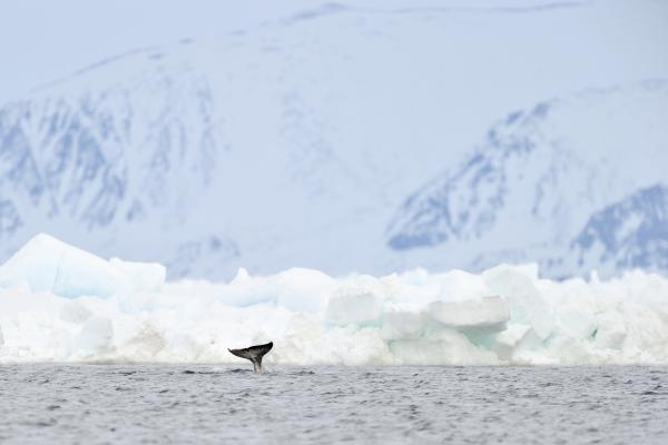 Narwhal sighting in the Arctic