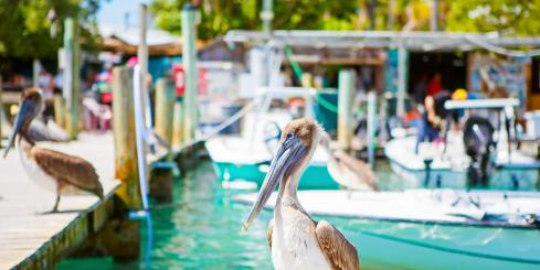 Big brown pelicans at the Florida Keys