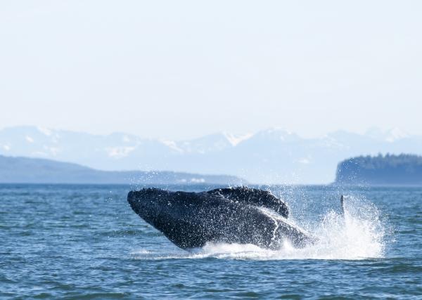 Whale watching in Juneau, Alaska