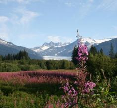 Mendenhall Glacier with field of Fireweed in Juneau, Alaska