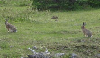 Hares at EcoCamp