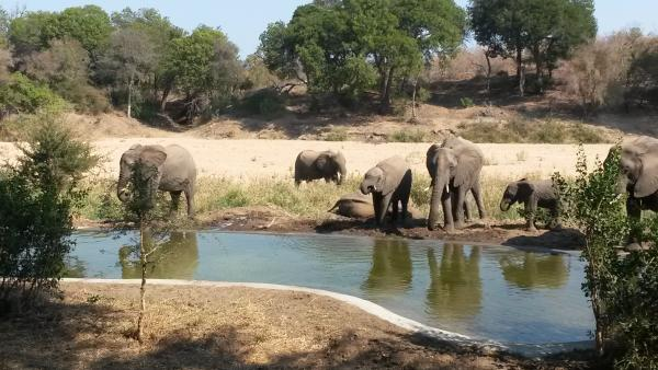 Elephants congregate at the watering hole outside Simbavati River Lodge