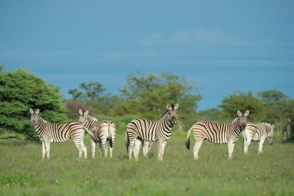 Zebras are just some of the wildlife that can be seen in Etosha