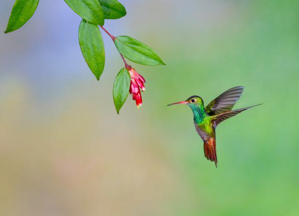 Rufous tailed hummingbird in the cloudforest in Ecuador