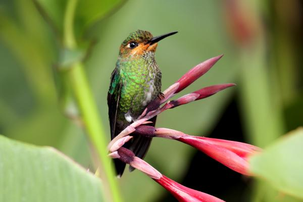 Green crowned brilliant hummingbird in the cloudforest in Ecuador