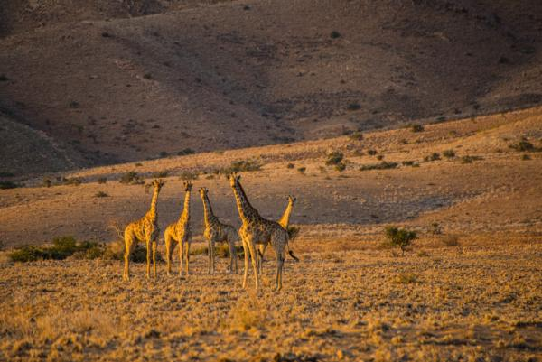 The Namibian Giraffe stand tall in the northern Namib Desert