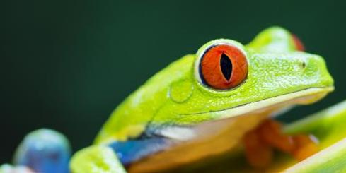 Red-eyed tree frog on flower
