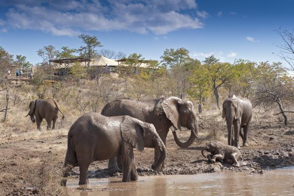 Elephants roam in sight of Elephant Camp