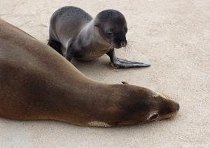 Mother and baby sea lions on Santa Fe