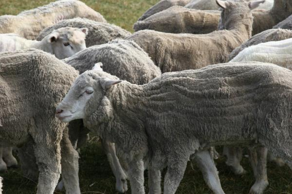 Sheep of Argentina