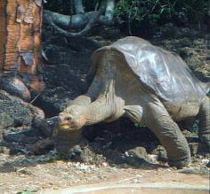 The late Lonesome George - tortoise on Galapagos Islands, Ecuador.