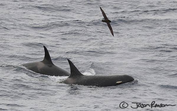 Amazing capture of my orca friends on the Drake by Jason!