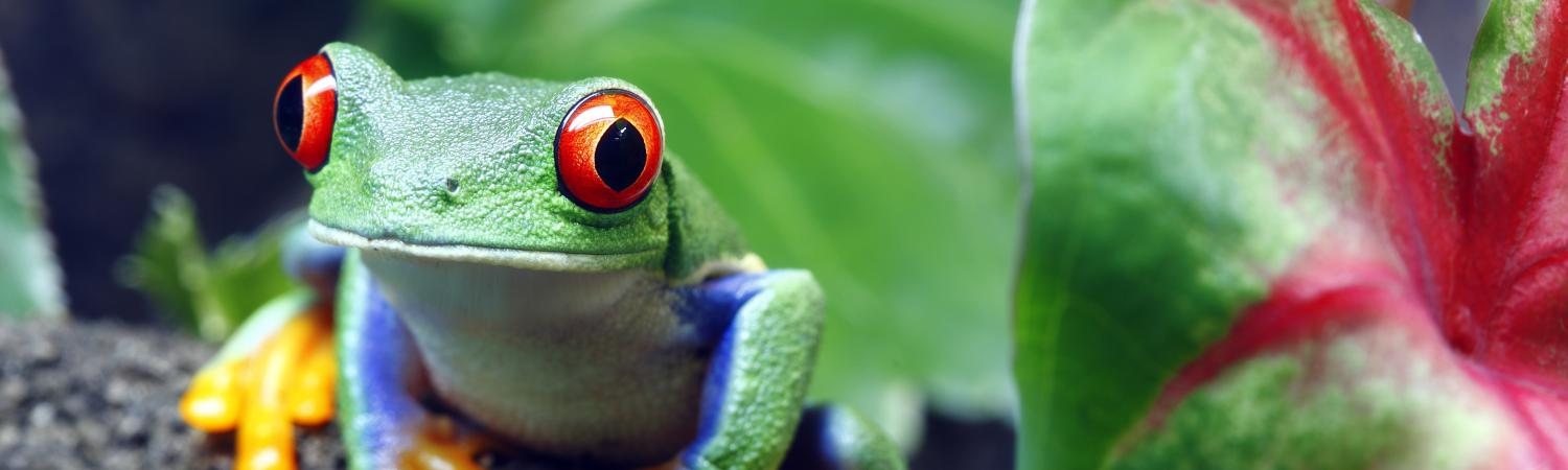 Wildlife of Costa Rica - colorful tree frog