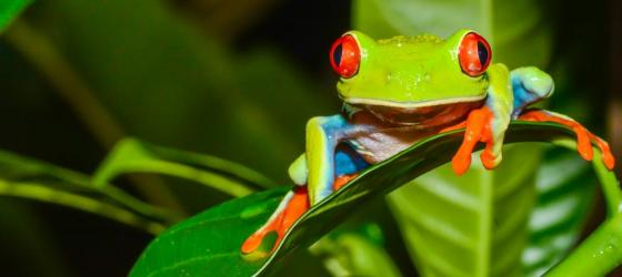 Wildlife of Costa Rica - bright tree frog