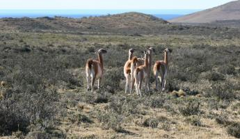 A group of wild guanacos