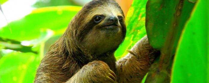 A sloth smiles from the forest canopy
