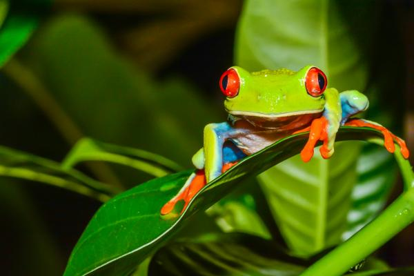 Colorful tree frog of Costa Rica