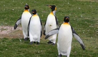 Emperor penguins on the grass