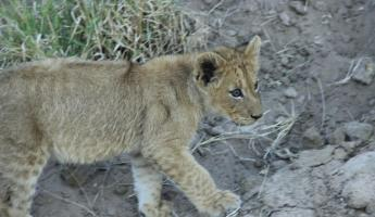 Lion Cub Thornybush Reserve